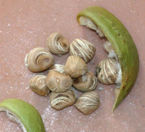 אגוזי מלבר, malabar-chestnut
