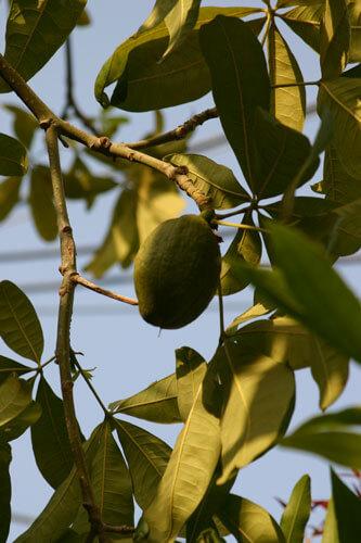malabar-chestnut leaves, עץ אגוז מלבר