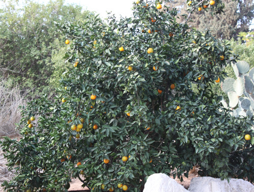 עץ מנדרינה