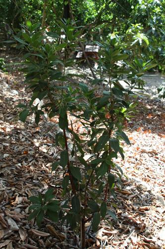 עץ קטלב מרינה