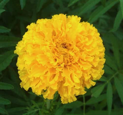 פרח טגטס אמריקאי