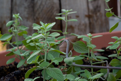 צמח זוטה לבנה