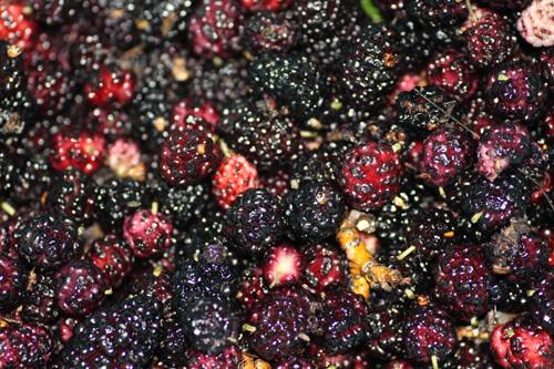 תותי עץ, תות עץ אדום, mulberry