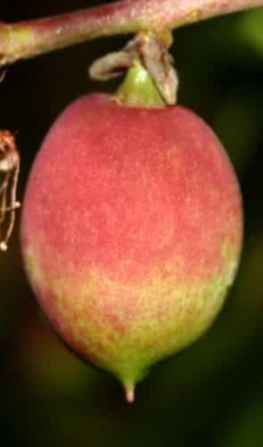 נקטרינה, nectarine