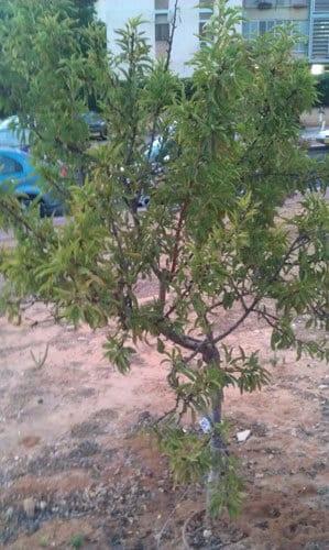 עץ נקטרינה, עץ נקטרינות,   nectarine