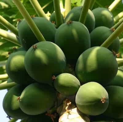 פירות של פפאיה, עץ פפאיה, papaya tree