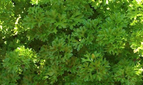 פטרוזיליה, גידול צמחי תבלין, parsley