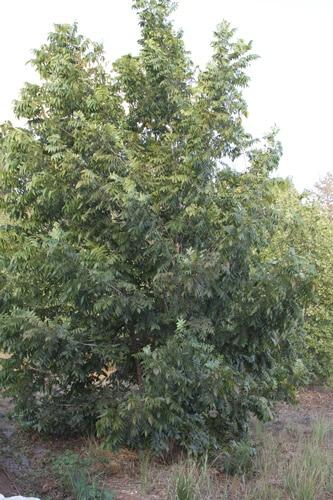 עץ פקאן, pecan tree