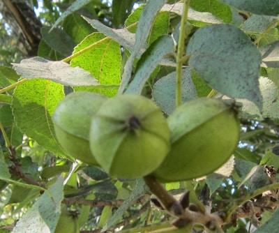 פקאנים, פקאן, אגוזי פקאן, pecan nuts