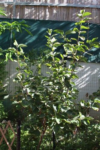 עץ אפרסמון, גידול אפרסמון, persimmon