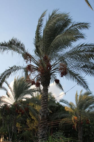 עץ תמר, דקל, דקל תמרים, phoenix-plant