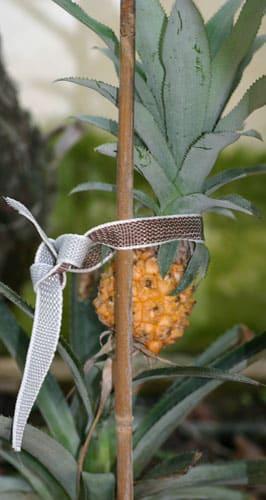 אננס, pineapple, גידול אננס