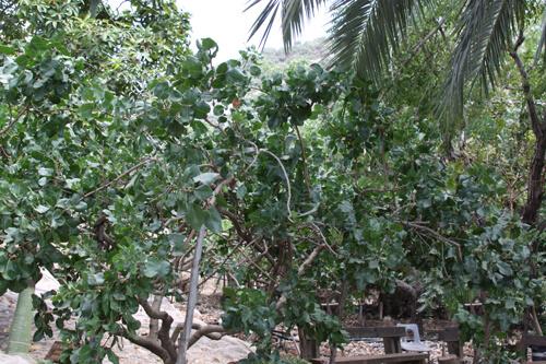 pistachio, עץ פיסטוק, גידול פיסטוק