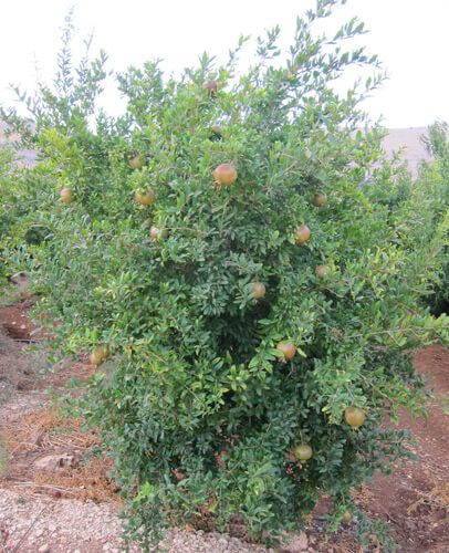 עץ רימון, עץ רימונים, גידול רימון, pomegranate