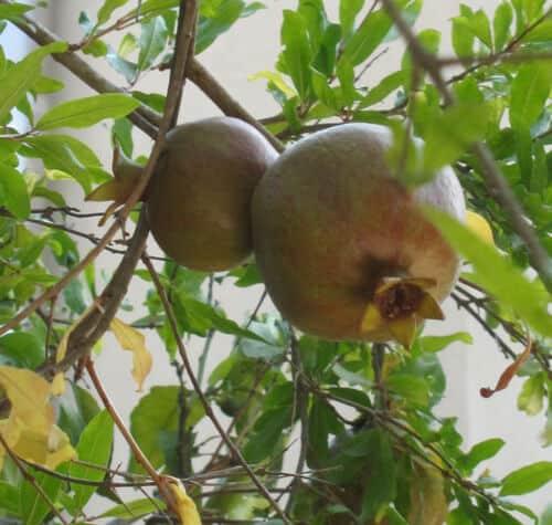רימון, רימונים, pomegranate