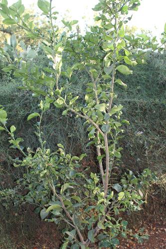 עץ פומלו