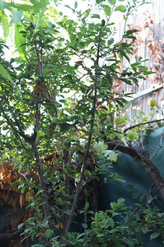 גידול עץ שזיף, שזיף, pulm tree