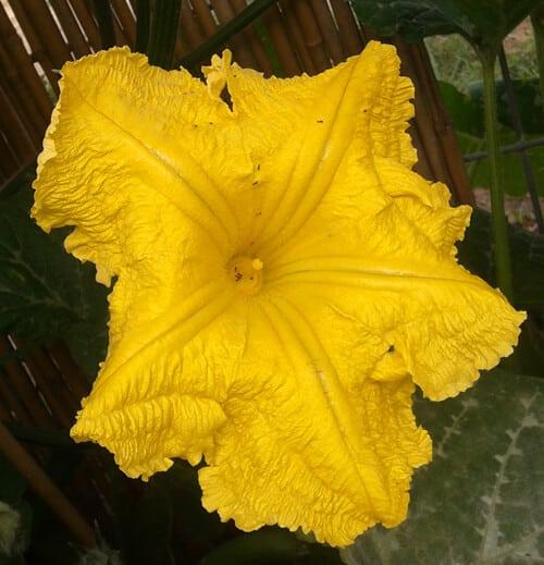פרח דלעת