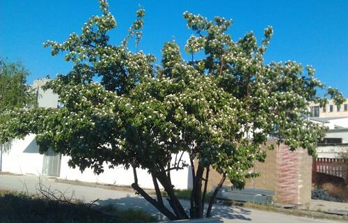עץ חבושים, גידול חבושים, quince