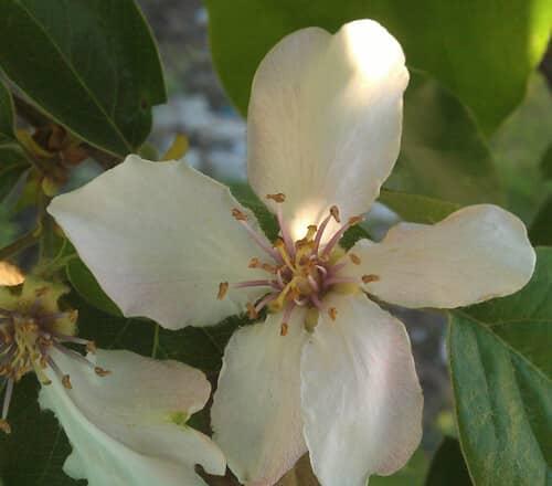 פריחה של עץ חבוש, פרח של חבוש, quince