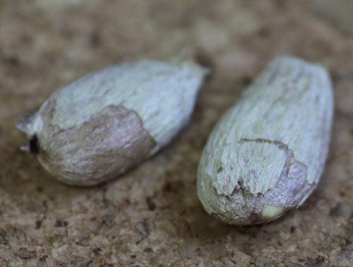 זרעי רמבוטן