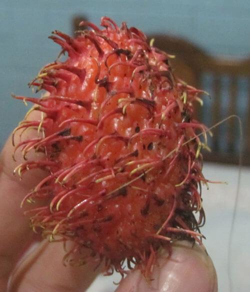 פרי רמבוטן