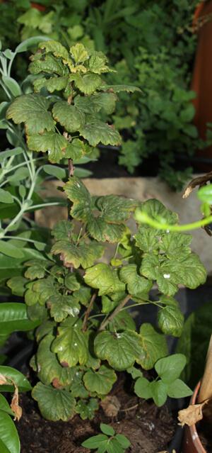 redcurrant bush, שיח דומדמניות, דומדמניות