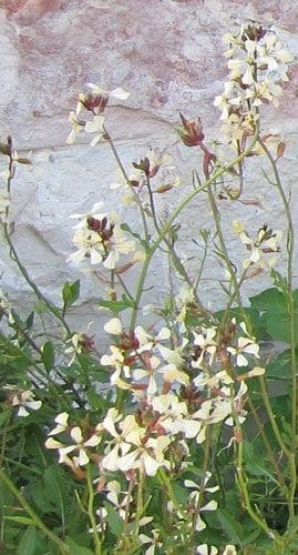פרחי רוקט