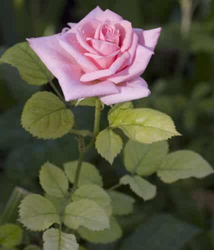 ורד, וורד, ורדים, וורדים, שיח וורדים, גידול וורדים, roses, rose
