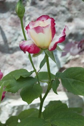 גידול וורדים, ורד, וורד, ורדים, וורדים, שיח וורדים, roses, rose