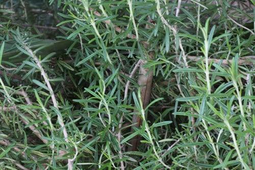 רוזמרין, שיח רוזמרין, גידול רוזמרין, גידול צמחי תבלין, rosemary