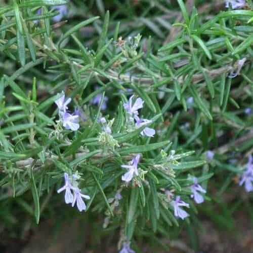 פרחים של רוזמרין, שיח רוזמרין, גידול רוזמרין, גידול צמחי תבלין