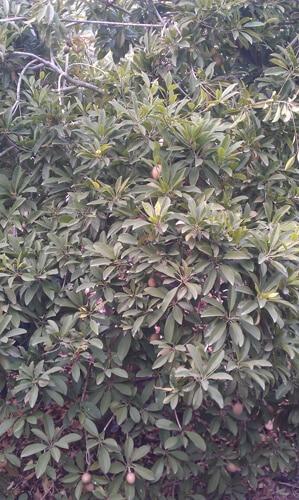 עץ ספודילה