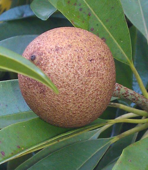 פרי ספודילה
