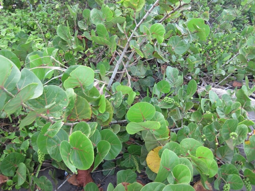 seagrape tree, עץ ענבי ים, שיח ענבי ים, גפן הים
