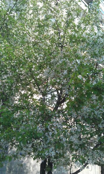 עץ דובדבן, sour-cherry tree