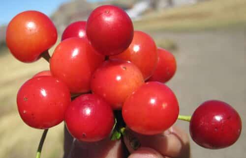 דובדבן, דובדבנים, sour-cherry