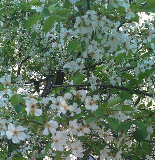 פריחה של דובדבן, עץ דובדבן, דובדבן, דובדבנים, פרחים של דובדבן, sour-cherry, פריחת הדובדבן