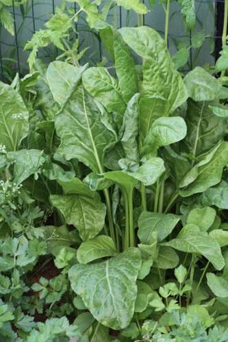 גידול תרד, תרד, spinach