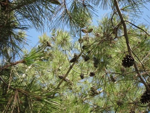 אורן הצנובר, אורן, אורנים, גידול אורן, צנוברים, pine