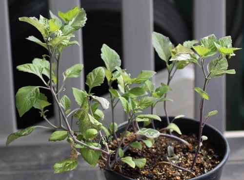 צמח ענבת שמש