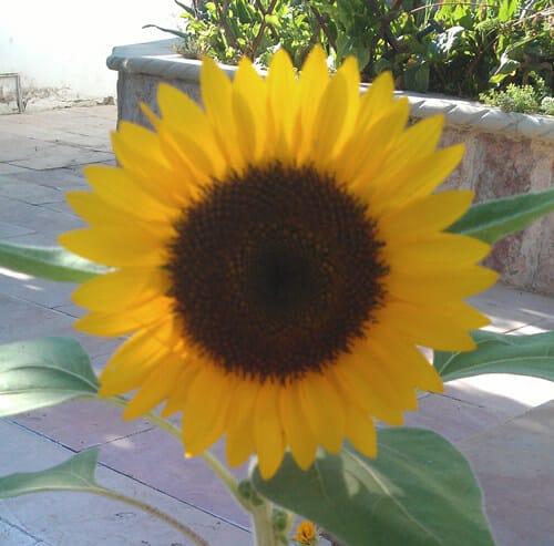 חמניה, חמנייה, חמנית, sunflower, גידול חמניה, גידול חמניות