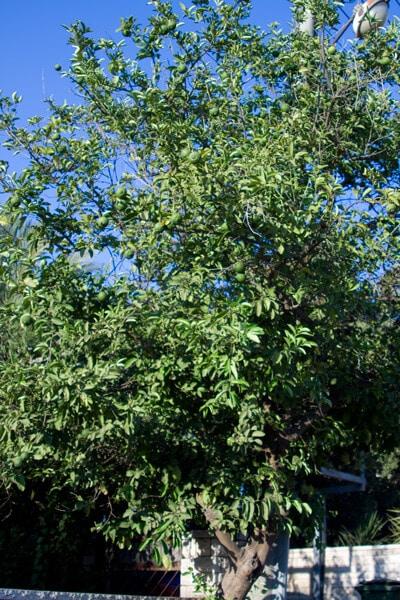 עץ לימון מתוק