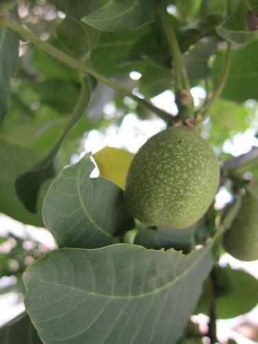 גידול אגוזי מלך