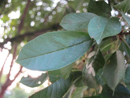 גידול עץ אגוזי מלך