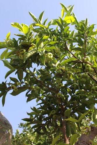 גידול תפוח מים