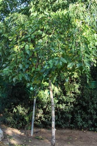 גידול עץ תות בוכיה