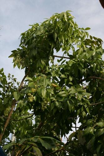 עץ ספוטה לבנה