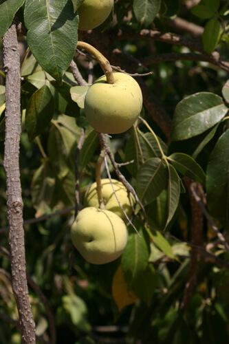 פירות ספוטה לבנה
