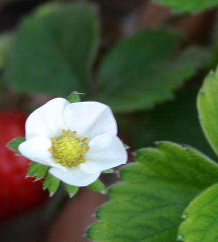 פרח תות יער
